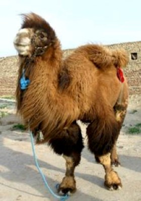 camel rod