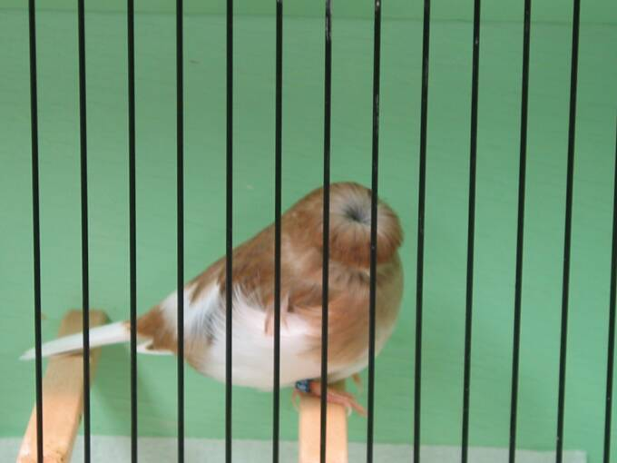 Crested Canaries Gloster Stafford Columbus Norwich