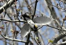 Potato Creek Yellow-rumped Warbler (Myrtle) 3