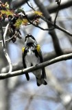 Potato Creek Yellow-rumped Warbler (Myrtle)2