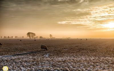 winterlandschap, polder, schapen, zonsondergang