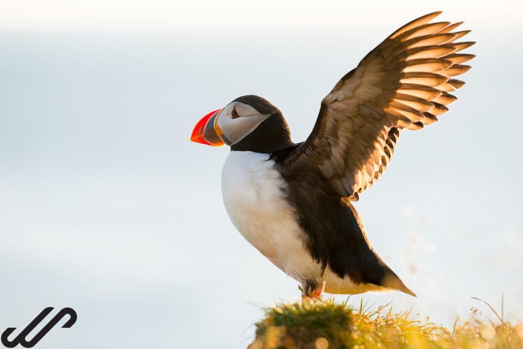 Papegaaiduikers fotograferen op IJsland
