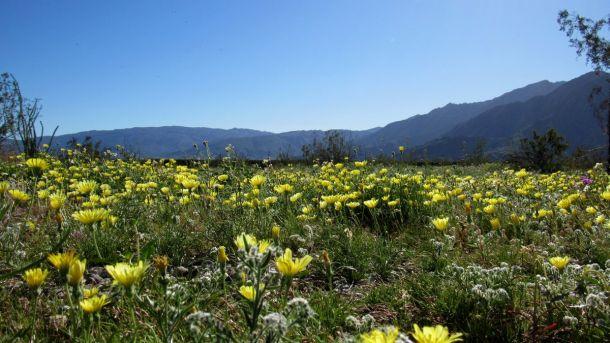 En de woestijn zal bloeien als een roos!  Anza-Borrego Desert State Park in California staat in bloei, 7 maart (bron: Anza-Borrego DRC).