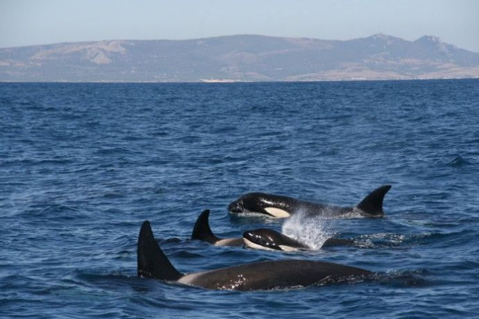 Orcas-Estrecho_resize-696x464