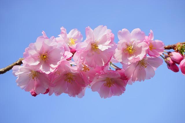 japanese-cherry-trees-324186_640