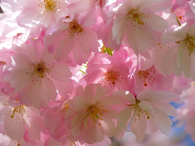 """Sakura"" National flower of Japan"