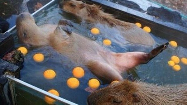 Why capybara loves bathing in a hot spring