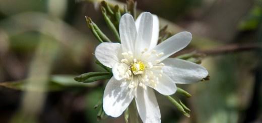 アズマイチゲ(東一華、学名:Anemone raddeana)