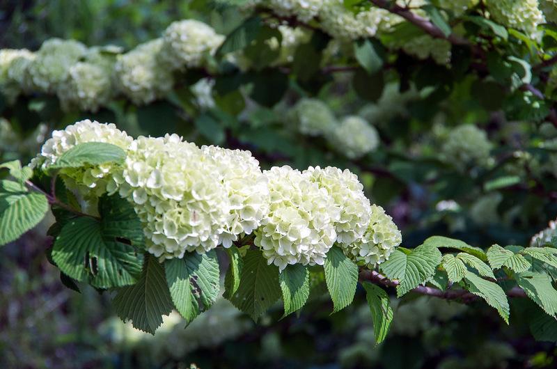 オオデマリ (大手毬, 学名:Viburnum plicatum var. plicatum f. plicatum)