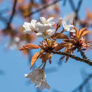ヤマザクラ(山桜、学名:Cerasus jamasakura (Siebold ex Koidz.) H.Ohba, 1992)(Synonym : Prunus jamasakura Sieb. ex Koidz., 1911)