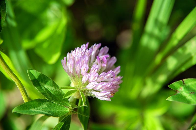 アカツメクサ(赤詰草、学名:Trifolium pratense)