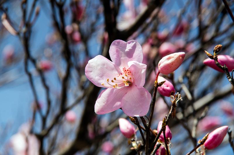 アカヤシオ(赤八汐、学名:Rhododendron pentaphyllum var. nikoense)