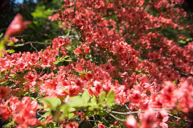 ヤマツツジ(山躑躅、学名:Rhododendron obtusum var. kaempferi)