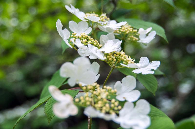 ヤブデマリ(藪手毬、学名:Viburnum plicatum var. tomentosum )