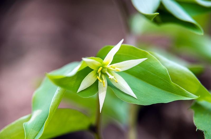 チゴユリ(稚児百合、学名:Disporum smilacinum)