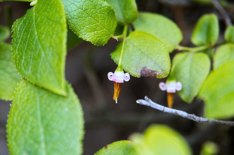 アクシバ(灰汁柴、学名:Vaccinium japonicum)