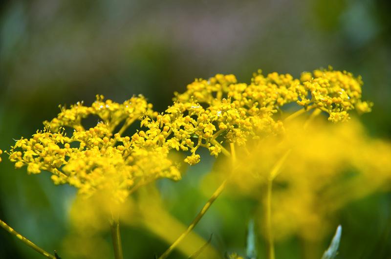 オミナエシ(女郎花、学名:Patrinia scabiosifolia)
