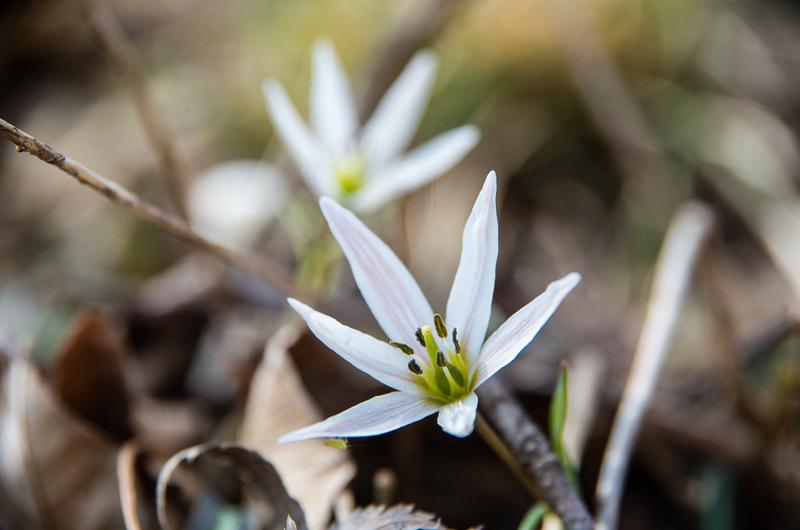 ヒロハノアマナ(広葉の甘菜、学名:Amana erythronioides )
