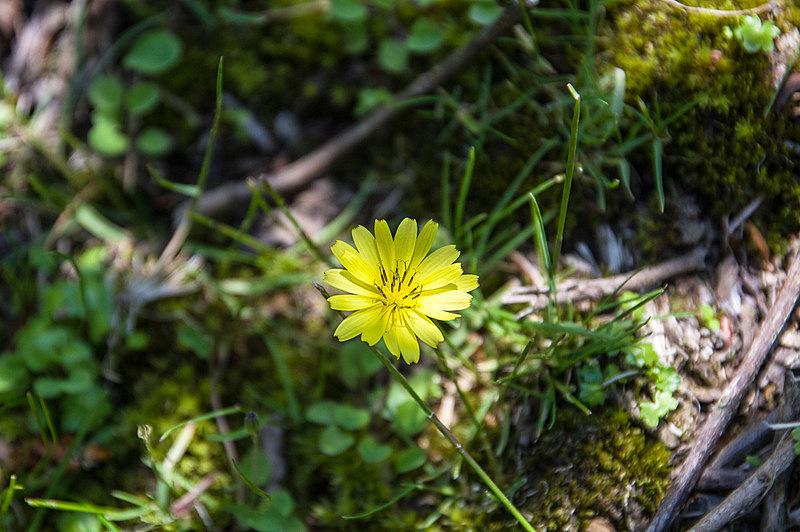 オオジシバリ(大地縛り、学名:Ixeris japonica)