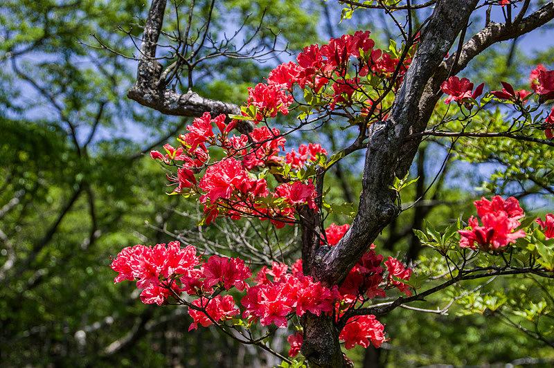 ヤマツツジ(山躑躅、学名:Rhododendron kaempferi)