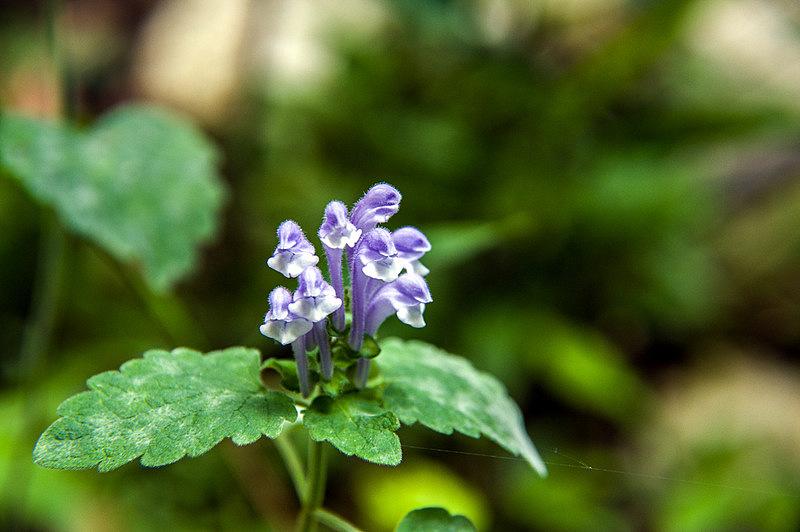 オカタツナミソウ(丘立浪草、学名:Scutellaria brachyspica)