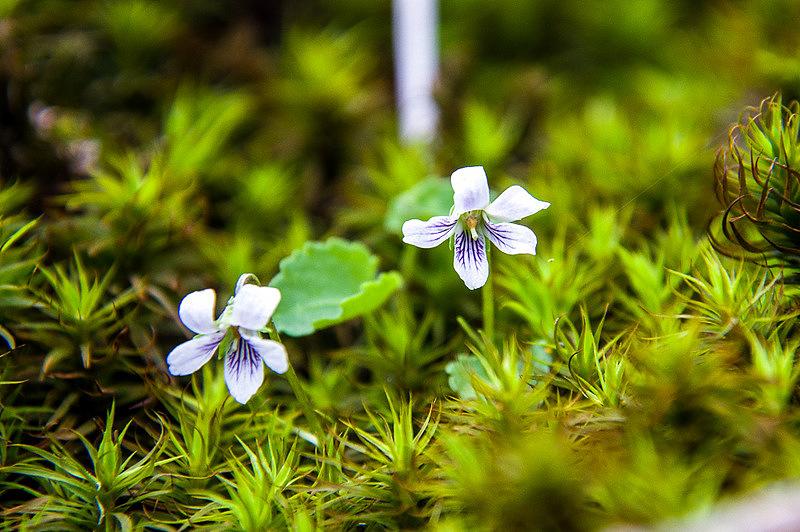 ニョイスミレ(如意菫、学名:Viola verecunda)