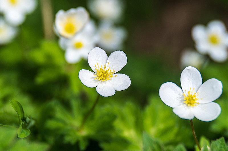 ニリンソウ(二輪草、学名:Anemone flaccida)