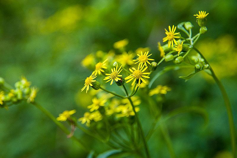 サワギク(沢菊、学名:Nemosenecio nikoensis)