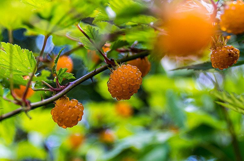 ナガバモミジイチゴ(長葉紅葉苺、学名:Rubus palmatus var. palmatus)