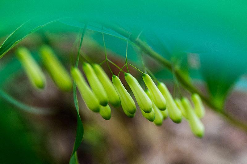 ナルコユリ(鳴子百合、学名:Polygonatum falcatum)