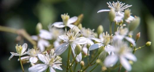センニンソウ(仙人草、学名:Clematis terniflora)
