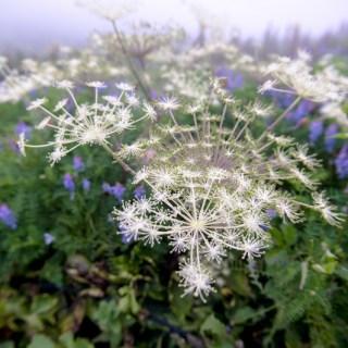 シシウド(猪独活、学名:Angelica pubescens)