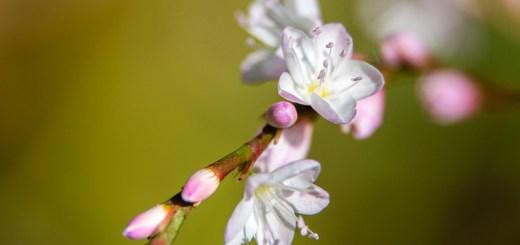 サクラタデ(桜蓼、学名:Polygonum Conspicuum)