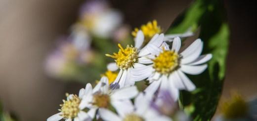 シロヨメナ(白嫁菜、学名:Aster ageratoides var. ageratoides)