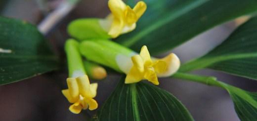 ノササゲ(野大角豆、学名:Dumasia truncata)