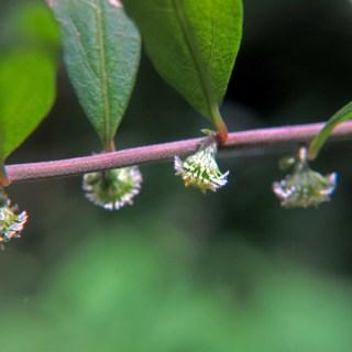 シュウブンソウ(秋分草、学名:Rhynchospermum verticillatum)