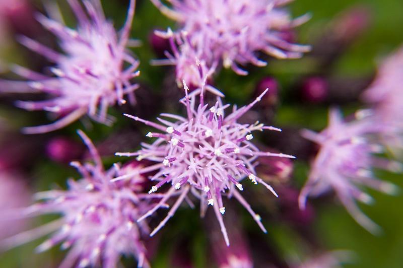 コイブキアザミ(小伊吹薊、学名:Cirsium confertissimum)