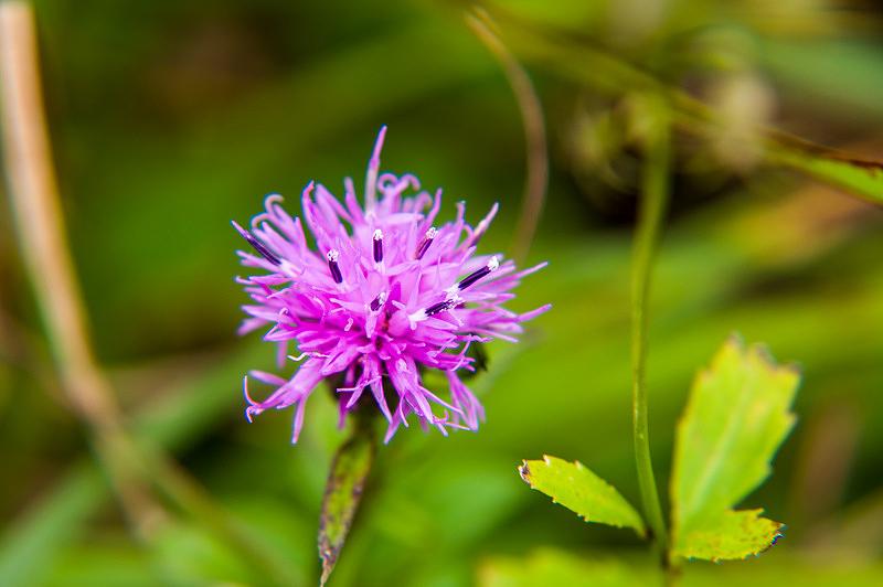 タムラソウ(田村草、学名:Serratula coronata subsp. insularis )