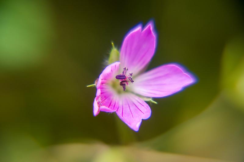 ミツバフウロ(三葉風露、学名:Geranium wilfordii Maxim.)