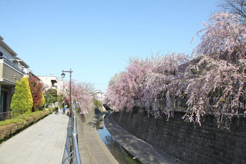 妙正寺川のしだれ桜