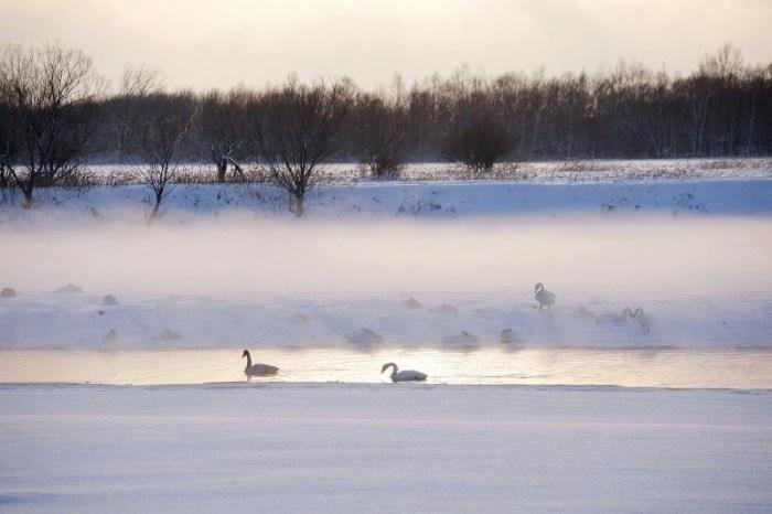 ハクチョウと冬の千歳川