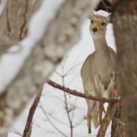 支笏湖は、エゾ鹿の遭遇率がかなり高いです。シカって、じーっとこちらを見るんです。