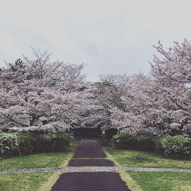 辰巳の桜#japan #sakura #spring #cherryblossom #tokyo - from Instagram