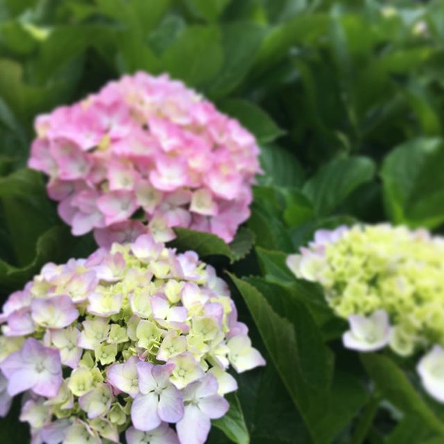 紫陽花あじさい Ajisai Hydrangea #japan #june #hydrangea #flowers - from Instagram