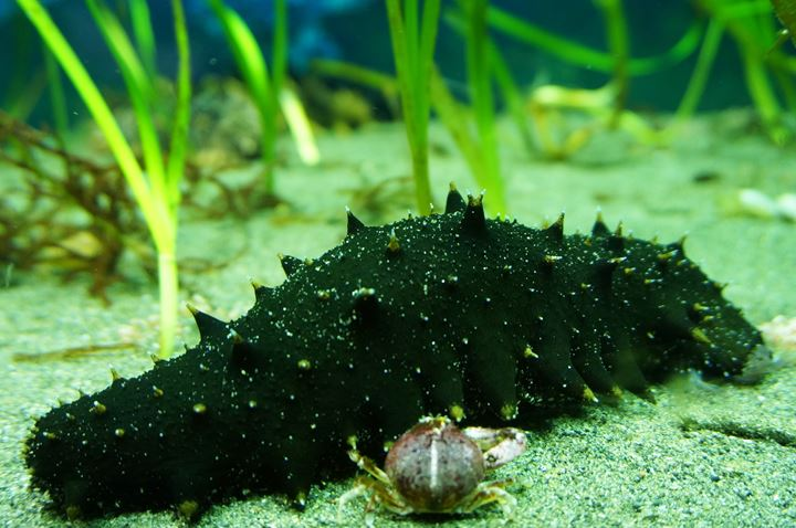 Sea Cucumber (Apostichopus armata) マナマコ 真海鼠 - 足立区生物園 Adachi Park of Living Things