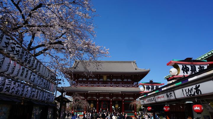 Cherry Blossoms at Sensoji Temple in Asakusa Tokyo 東京 浅草寺 桜