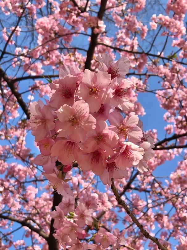 東京の桜 隠れた名所