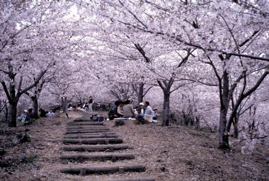 Sakura time, Japan 2010