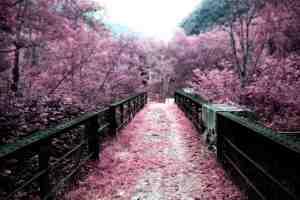 Stunning Sakura Parasol