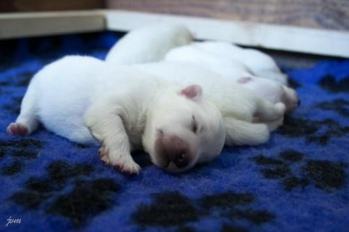 японский шпиц щенки фото